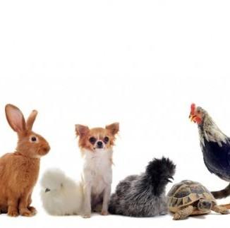 animaux domestiques lapin chien chat poule